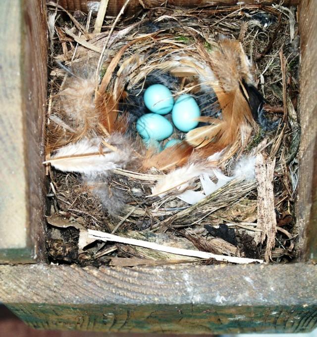 Il nido con le uova del codirosso spazzacamino